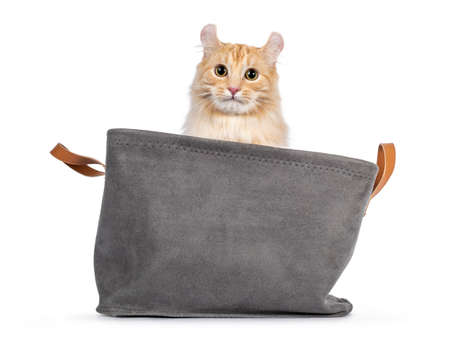 Handsome young adult American Curl Longhair cat, sitting in gray basket facing front. Looking straight into lens. Isolated on a white background.