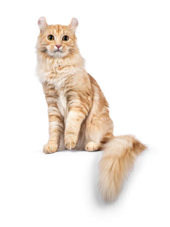 Handsome young adult American Curl Longhair cat, sitting up facing front with tail hanging down from edge. Looking straight into lens. Isolated on a white background.