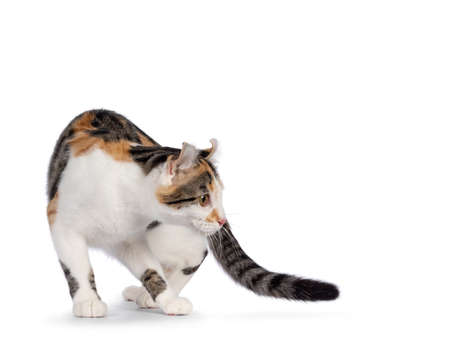 Amazing spotted pattern American Curl Shorthair cat, in turning motion. Head turned backwards away from camera showing the curled ears. Isolated on a white background. 版權商用圖片