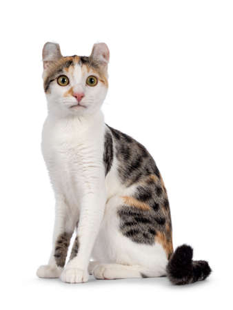 Amazing spotted pattern American Curl Shorthair cat, sitting up side ways. Looking straight to camera. Isolated on a white background. 版權商用圖片