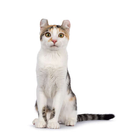 Amazing spotted pattern American Curl Shorthair cat, sitting up facing front. Looking straight to camera. Isolated on a white background.