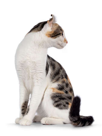 Amazing spotted pattern American Curl Shorthair cat, sitting up side ways. Head turned backwards away from camera showing profile and ears. Isolated on a white background.