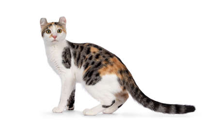 Amazing spotted pattern American Curl Shorthair cat, standing side ways. Head turned towards camera. Isolated on a white background.