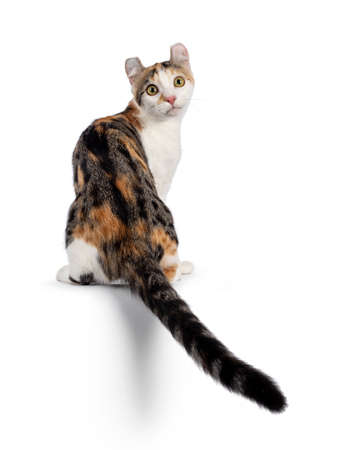 Amazing spotted pattern American Curl Shorthair cat, sitting backwards on edge with tail haning down. Looking over shoulder towards camera. Isolated on a white background.