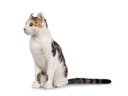 Amazing spotted pattern American Curl Shorthair cat, sitting up side ways. Head turned away from camera showing the curled ears. Isolated on a white background. 版權商用圖片