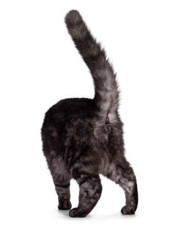 Cute Black smoke British Shorthair cat, walking away from camera showing butt hole. Isolated on a white background. 版權商用圖片