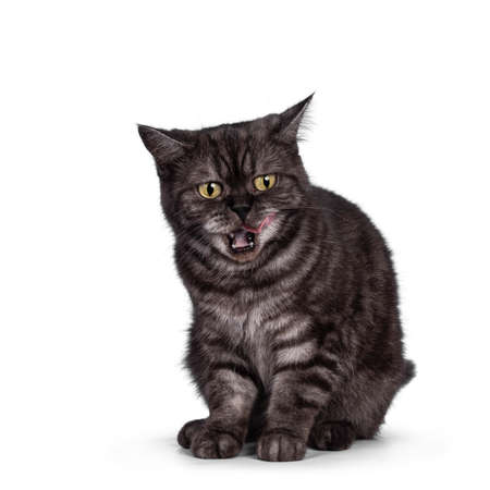 Cute Black smoke British Shorthair cat, sitting facing front. Mouth open, licking lips with pink tongue. Isolated on a white background. 版權商用圖片