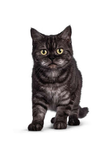 Cute Black smoke British Shorthair cat, standing facing front. Looking towards camera. Isolated on a white background. 版權商用圖片