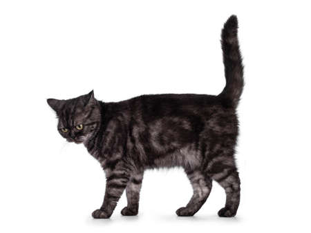 Cute Black smoke British Shorthair cat, standing side ways. Looking down from camera. Isolated on a white background. 版權商用圖片