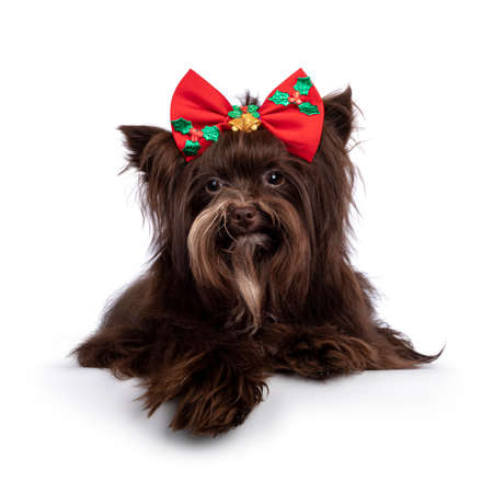 Cute brown Yorkshire Terrier dog, laying down wearing red Christmas bow tie. Looking straight to camera. Isolated on a white background. 版權商用圖片