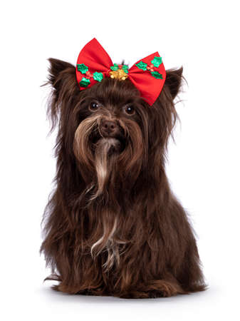 Cute brown Yorkshire Terrier dog, sitting up wearing red Christmas bow tie. Looking straight to camera. Isolated on a white background.