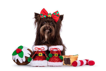 Cute brown Yorkshire Terrier dog, sitting inbetween toy Chistmas treats wearing red Santa boots and bow tie. Looking straight to camera. Isolated on a white background.