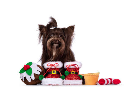 Cute brown Yorkshire Terrier dog, sitting inbetween toy Chistmas treats wearing red Santa boots. Looking straight to camera. Isolated on a white background. 版權商用圖片