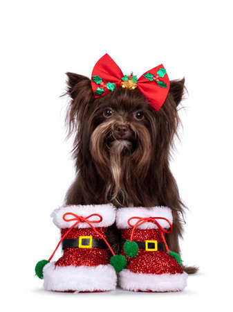 Cute brown Yorkshire Terrier dog, sitting up wearing red Santa boots and bow tie. Looking straight to camera. Isolated on a white background.
