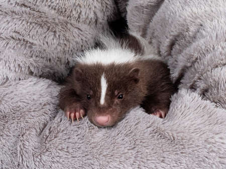 Full frame shot of cute brown with white striped baby skunk, peeping out of a grey fluffy basket Looking towards camera. Isolated on a white background.