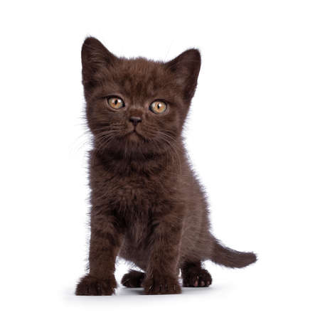 Cute brown British Shorthair cat kitten, standing facing front. Looking  towards camera. Isolated on a white background.
