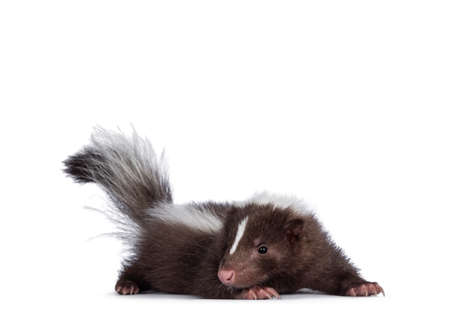 Cute brown with white striped baby skunk, standing side ways. Looking towards camera. Isolated on a white background. Tail up.