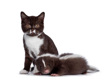 Remarkable duo of brown and white British Shothair cat kitten and skunk. Both looking towards camera. Isolated on a white background. 版權商用圖片