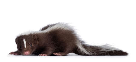 Cute brown with white striped baby skunk, standing side ways. Looking towards camera. Isolated on a white background.
