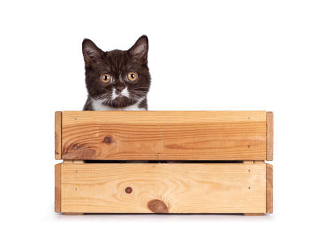 Cute brown with white British Shorthair cat kitten, sitting in wooden box. Looking over edge towards camera. Isolated on a white background.