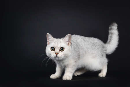 Cute silver shaded British Shorthair cat kitten, standing side ways head down. Looking towards camera. Isolated on a black background.