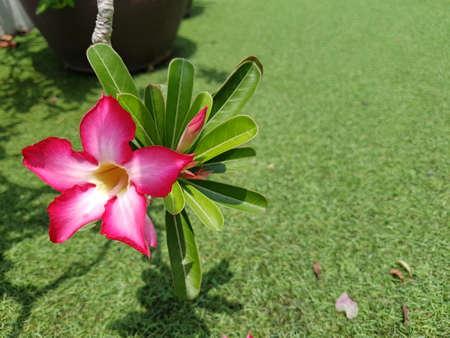 Azalea Flower closeup,beautiful fresh pink Azalea flowers,beautiful pink flower in garden,Azalea flowers,Lonely pink Flower.