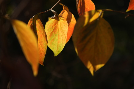 backlights: autumn leaves
