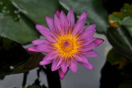 plants species: Lotus line  Scientific name : Nymphaea lotus is a species of aquatic plants .