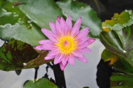 plants species: Lotus line ( Scientific name : Nymphaea lotus) is a species of aquatic plants