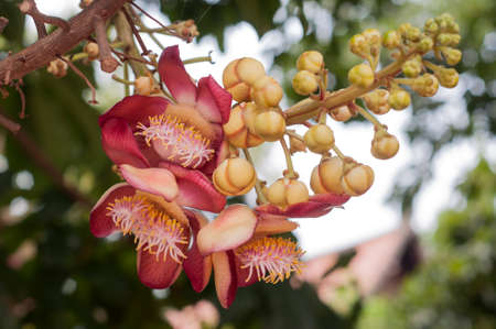 cannonball: Cannonball tree in Wat Niwet Thammaprewat