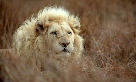 intensely: A large wild male white lion stares intensely while lying in the grass