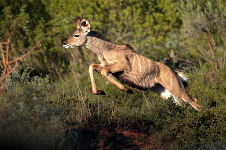 A big kudu cow jumps and pronks to get away from an approaching lion  photo