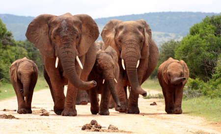 코끼리의 무리는이 위대한 낮은 각도의 이미지에 카메라와 냄새를 따라 걸어
