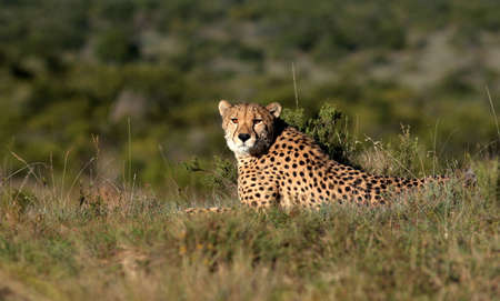 soaks: A big male cheetah sits on a hill and soaks up the morning sunlight