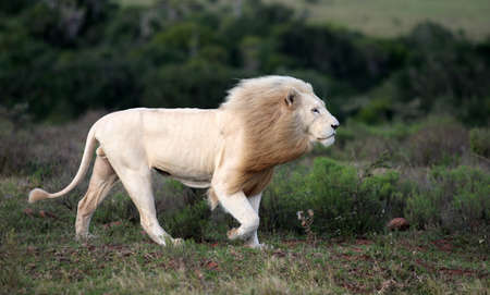 A big wild white male lion walking past in this image
