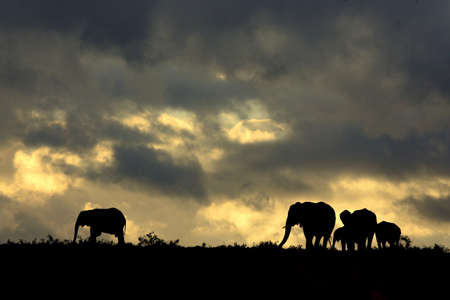 A beautiful African sunset with elephants  photo