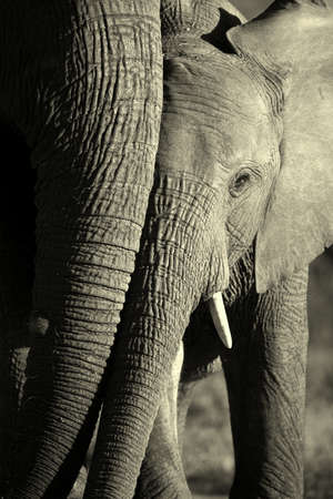 A young elephant shares a moment with her mother in this black and white image  photo