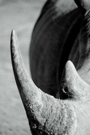 A black and white image of a rhinoceros horn  photo