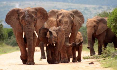 Elefant: Eine Herde von Elefanten zu Fu� in Richtung der Kamera