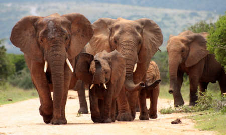 A herd of elephant walking towards the camera