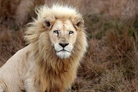 Een grote wilde mannelijke witte leeuw kijkt op de camera