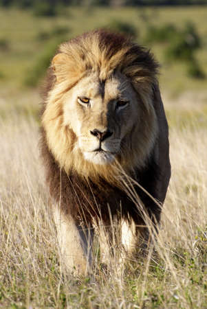 A big black maned male lion walks towars the camera