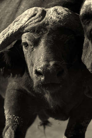 big five: A big Cape buffalo bull in this black and white image taken in South Africa