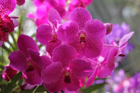 vanda: vanda orchids