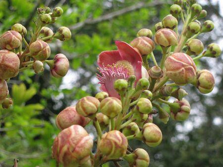 Cannon Ball Tree Flower Stock fotó - 19557791