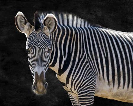 Zebra Portrait Stock Photo - 16042504