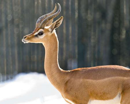 s horn: Gerenuk, Giraffe-necked Antelope