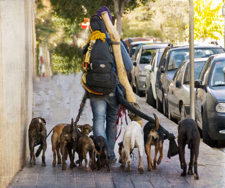 Person Walking with Pack of Dogs on Leashes