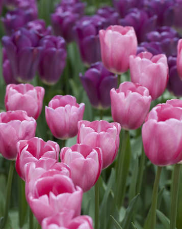 dutch: Pink and Lavender-Colored  Dutch Tulips