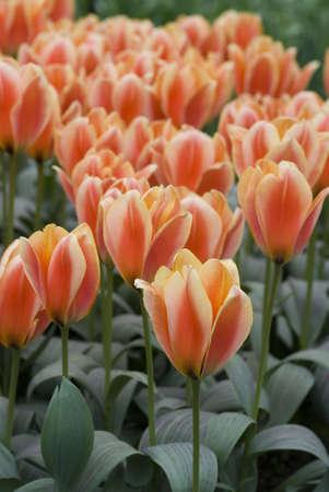 dutch: Orange Colored Dutch Tulips Blooming Stock Photo